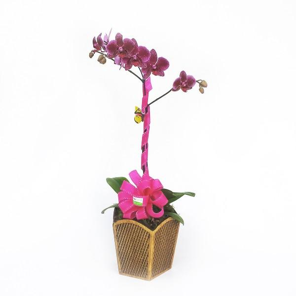 Orquídea-Phalaenopsis-com-1-Haste-no-Cachepô